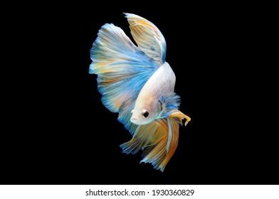 Bettfisch, siamesischer Kampffisch, Bettsplendens einzeln auf schwarzem Hintergrund, Fisch auf schwarzem Hintergrund, mehrfarbiger siamesischer Kampffisch,