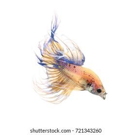 Betta fish, siamese fighting fish, betta splendens (Crown Tail) isolated on white background