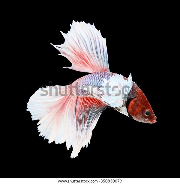 Betta Fish Siamese Fighting Fish Betta Stock Photo (Edit Now) 350830079
