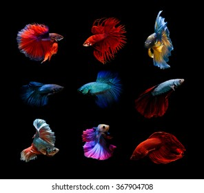 Betta fish, siamese fighting fish, betta splendens,aquarium,moment of siamese fighting fish colorful and so strong mix group