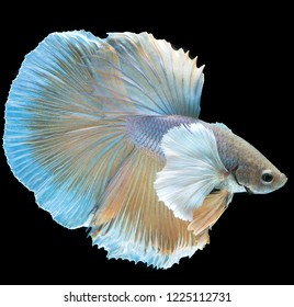 Betta fish, betta splendens (Halfmoon betta),Siamese fighting fish, Thai popular aquarium fish isolated on black background
