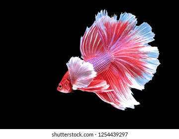 Betta fish, betta splendens (Halfmoon betta), biting fish, Thai popular aquarium fish isolated on black background