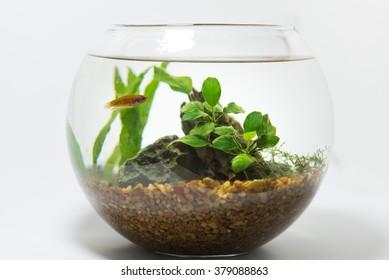 betta in fishbowl