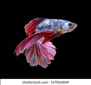 Betta fish,Siamese fighting fish,siamese fighting fish betta splendens (Halfmoon betta,Betta splendens Pla-kad ( biting fish) isolated on black background