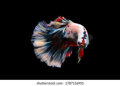Betta fish,Siamese fighting fish,siamese fighting fish betta splendens (Halfmoon betta,Betta splendens Pla-kad ( biting fish) isolated on black background.