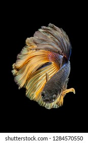"""The betta got its name from an ancient clan of warriors, called the """"Bettah."""" The fish were given a combatant name after the fighting fish became popular in the mid-1800s"""