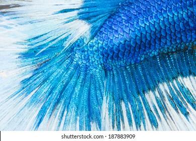 betta, siamese fighting fish skin texture for background