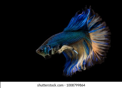 Betta Siamese fighting fish, Betta splendens Pla-kad biting fish Thai, trey krem Khmer, popular aquarium fish. Green Blue Yellow Mustard half moon long tail Betta Fighting motion isolated on black