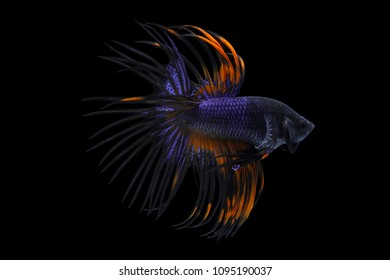 Betta Siamese fighting fish, Betta splendens Pla-kad Thai. Crown-tail betta isolated on black
