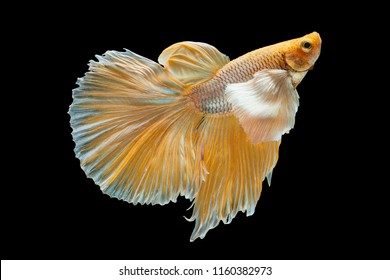 Betta Siamese fighting fish, Betta splendens , popular aquarium fish. Big ears dumbo Golden yellow glossy half moon long tail Betta Fighting motion face isolated on black