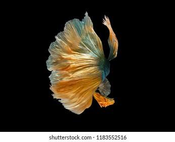 Betta Siamese fighting fish, Betta splendens , popular aquarium fish. Green yellow  metallic glossy half moon long tail Betta Fighting motion face isolated on black