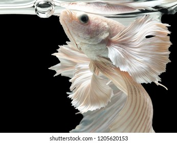 Betta Siamese fighting fish, Betta splendens , popular aquarium fish. White platinum half moon long tail Betta Fighting motion face isolated on black