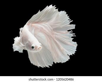 Betta Siamese fighting fish, Betta splendens , popular aquarium fish. White platinum half moon long tail Betta Fighting motion face isolated on black