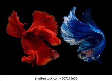 Betta, Siamese fighting fish, Betta splendens, pla-kad ( biting fish) Thai , trey krem Khmer, popular aquarium fish. White sky blue and super red half moon tail betta fighting motion isolated on black