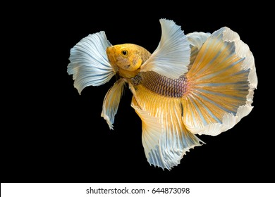 Betta Siamese fighting fish, Betta splendens Pla-kad ( biting fish ) Thai, popular aquarium fish. Big ears dumbo Golden yellow glossy half moon long tail Betta Fighting motion face isolated on black