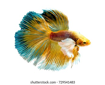 The Betta Siamese fighting fish, Betta splendens Pla-kad ( biting fish ) Thai. (Halfmoon big ears fancy yellow white blue betta ) in motion, isolated on white with clipping path