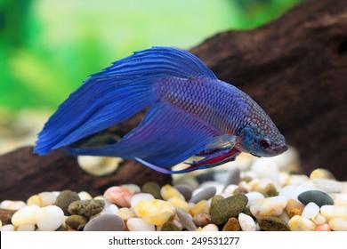 Betta splendens. An aquarian small fish in an aquarium interior