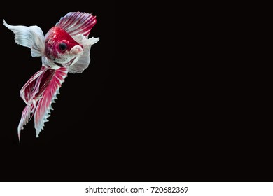 Betta splendens BIG EAR stance