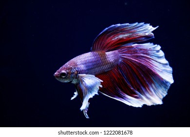 Betta splendens - Dumbo betta - Siamese Fighting Fish
