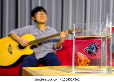 Betta splendens fish 2 fighting fish with a woman playing guitar on a red sofa.