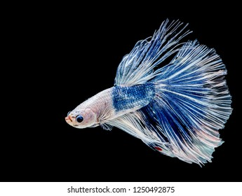 Betta splendens (Halfmoon betta),Pla-kad Thai, Betta Siamese fighting fish isolated on black background