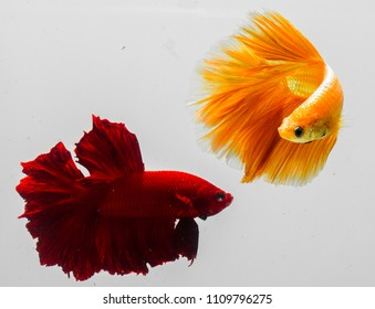 Betta Thailand kind of multi color. It may be called Siamese fighting fish. The motion underwater like dancing. Betta has fantastic color. One of reputation betta is kind of half moon betta.