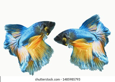 """Betta two styles """"Half Moon"""" isolated on a white background"""