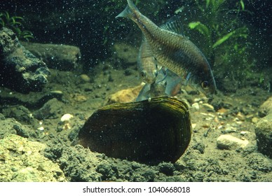 Bettering fresh water fish laying egg inside swan mussel. The Bitterling thrusts her ovipositor inside the exhalant. Rhodes amarus