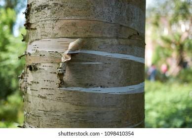 betula alleghaniensis britton bark