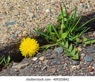 Between the cracks at Northwood Park spring 2016.  Dandelion blooming between concrete and asphalt