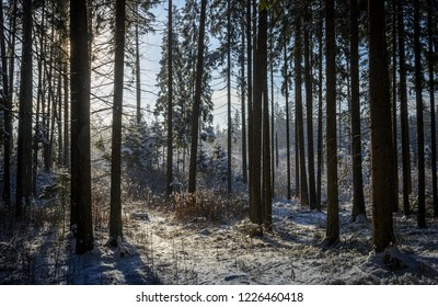 between forest pine trees in the cold winter day