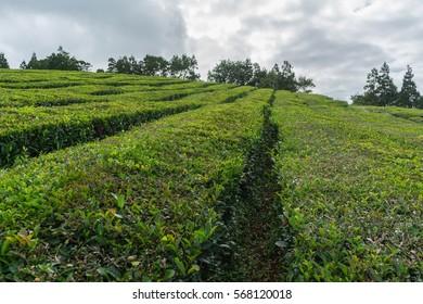 Between tea fields at Gorreana tea plantation, Sao Miguel, Azores