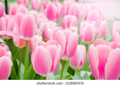 Beuatiful sweet pink tulips flower growing and blossom in spring season field with green leaves and branch