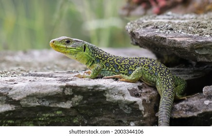 Beutiful male ocellated lizard (Timon lepidus) in a rocky environment. Scary and colorful green and blue lizard and habitat. Wild mediterranean reptile from Spain. Lizard pattern shown in the skin.  - Shutterstock ID 2003344106