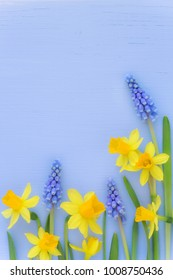 Beutiful Spring banner with fresh dafodil and muscari flowers against light blue wooden background. With plenty of copyspace for your text