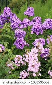 Beutiful, violet phlox flowers. Herbs in a home, perennial garden, friendly to insects, especially for bees.