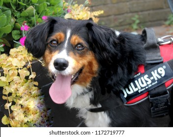 Beverley, East Yorkshire / England July 09 2018: Beautiful tri-coloured collie dog wearing Julius K9 harness. These high quality harnesses are used by professional dog breeders and trainers.