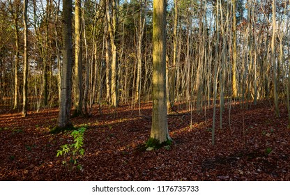 Beverley, Yorkshire, UK. A bed of fallen leaves in woodland with trees and saplings on a bright autumnal morning in Beverley, Yorkshire, UK.