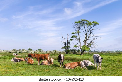 Beverley, Yorkshire, UK. Cattle on rural pasture in Swine moor with trees and flowering hawthorn on horizon on a bright day in spring in Beverley, Yorkshire, UK.
