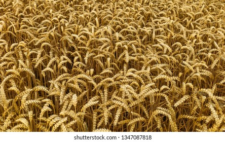 Beverley, Yorkshire, UK. Ears of wheat in a field ready for harvesting during dry spell in summer in Beverley, Yorkshire, UK.
