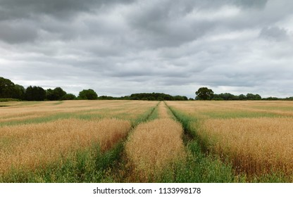 Beverley, Yorkshire, UK. Field of oats with trees on the horizon under clouded sky during dry spell in summer in Beverley, Yorkshire, UK.
