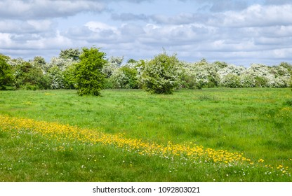 Beverley, Yorkshire, UK. Figham pasture in spring covered in lush grass and flanked by buttercups and hawthorn trees in bloom in Beverley, Yorkshire, UK.