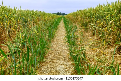 Beverley, Yorkshire, UK. Foothpath through field of wheat with tractor tracks  during dry spell in summer in Beverley, Yorkshire, UK.