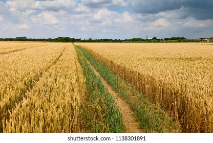 Beverley, Yorkshire, UK. Footpath through field of wheat and minster on horizon during dry spell in summer in Beverley, Yorkshire, UK.
