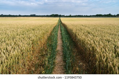 Beverley, Yorkshire, UK. Footpath through field of wheat with tractor tracks  during dry spell in summer in Beverley, Yorkshire, UK.