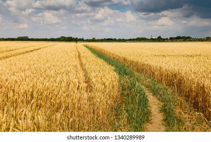 Beverley, Yorkshire, UK. Footpath through field of wheat ready for harvesting and minster on horizon during dry spell in summer in Beverley, Yorkshire, UK.