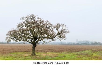 Beverley, Yorkshire, UK. Oak tree in rural landscape surrounded by parklands and ancient minster on horizon on misty morning in Beverley, Yorkshore, UK.
