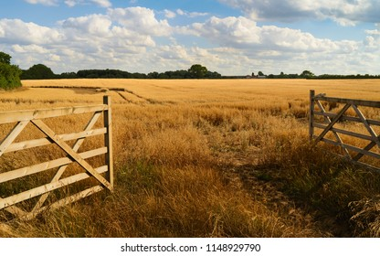 Beverley, Yorkshire, UK. Open farm gate leading into agricultural landscape with oat grain crop ripening in summer in Beverley, Yorkshire, UK.