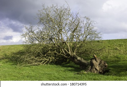 Beverley, Yorkshire, UK. Uprooted tree following severe storms along the riverbank of the river Hull near Beverley, Yorkshire, UK.
