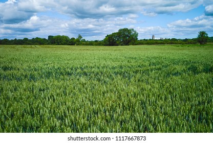 Beverley, Yorkshire, UK. View across wheat field with the ancient minster on the horizon under blue sky and clouds in summer in Beverley, Yorkshire, UK.